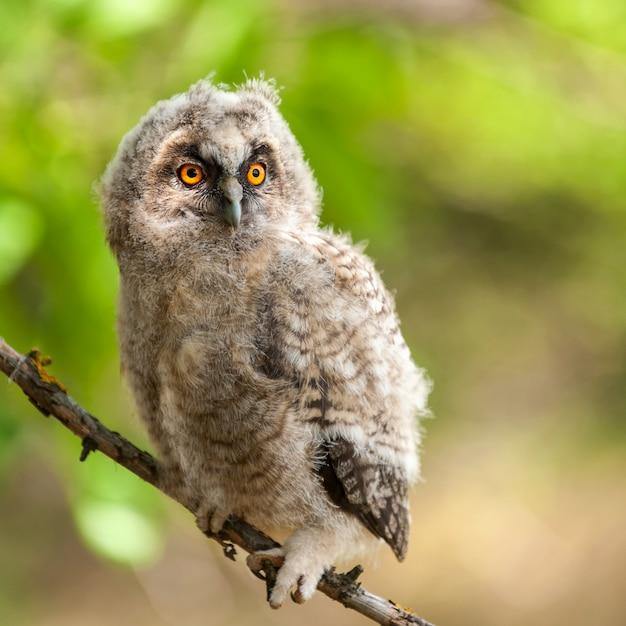 Портрет молодой ушастой совы asio otus Premium Фотографии