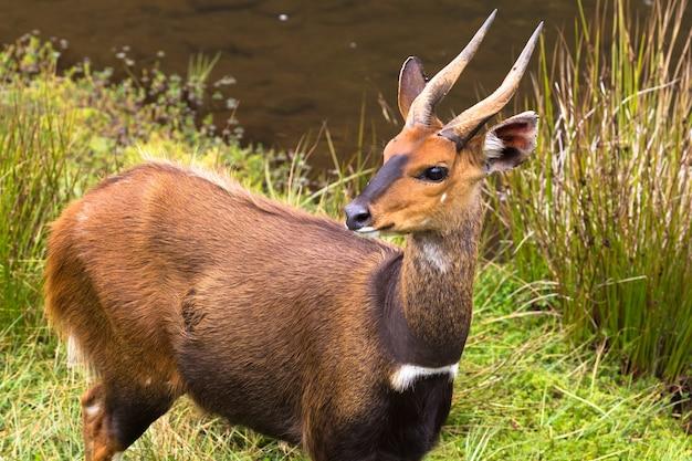 Портрет антилопы бушбак абердэр кения Premium Фотографии