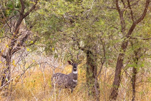 Портрет красивой куду в кустах меру кения африка Premium Фотографии