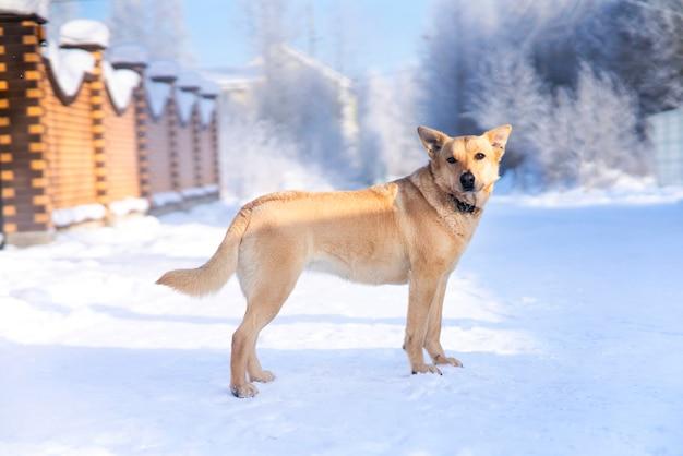 Портрет красивой беспородной собаки, стоящей на белом снегу в зимний холодный солнечный день возле забора дома. собачья охрана. Premium Фотографии