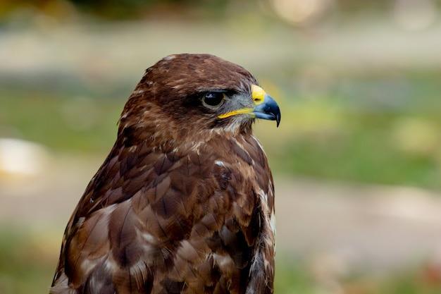 猛禽類の肖像 Premium写真