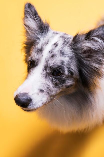 Портрет бордер-колли собаки Бесплатные Фотографии