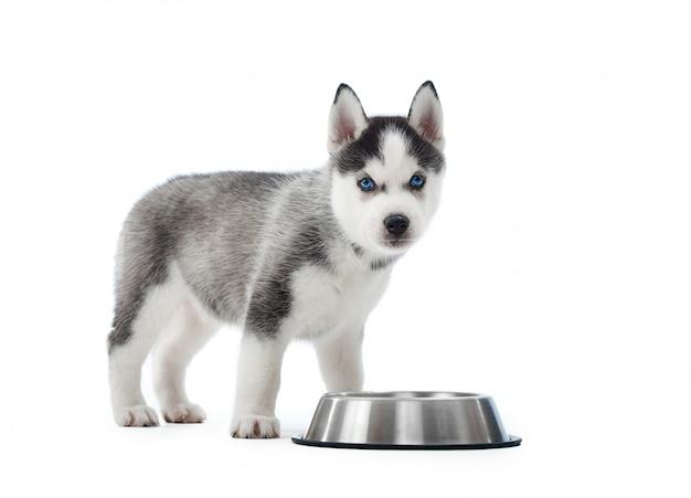 Портрет несут и милый щенок сибирской хаски, стоя возле серебряной тарелки с водой или едой. маленькая забавная собачка с голубыми глазами, серым и черным мехом. , Бесплатные Фотографии