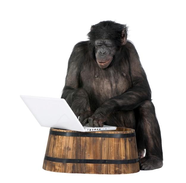 Изолированный портрет шимпанзе на белизне. (смешанная порода между шимпанзе и бонобо) Premium Фотографии