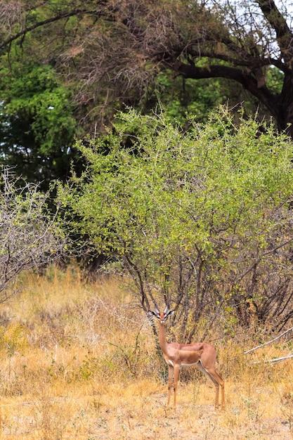 Портрет газелей-геренуков в парке меру кения африка Premium Фотографии