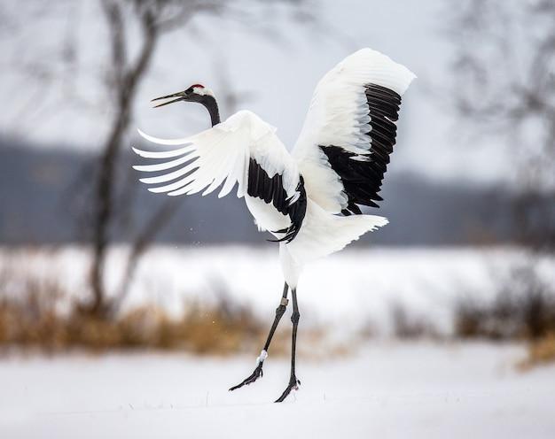 自然の中で日本の鶴の肖像画 Premium写真