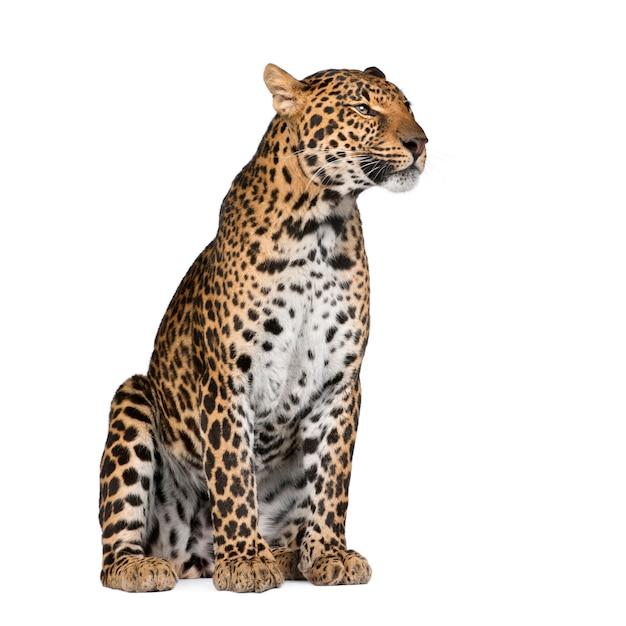 立っているヒョウ、パンテーラpardusの肖像画 Premium写真