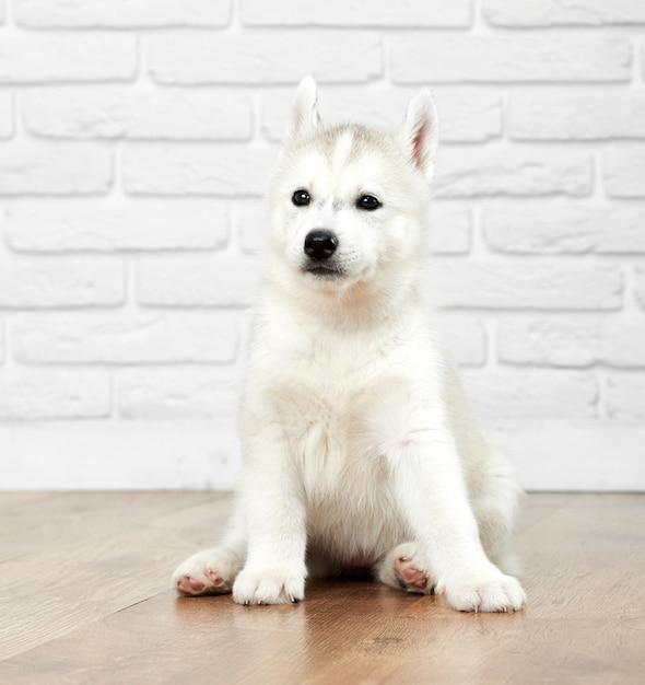 Портрет милой и милой сибирской хаски с черными глазами, серым и белым мехом, сидящей на полу и смотрящей в сторону. забавный щенок, как волк, лучшие друзья людей. Бесплатные Фотографии