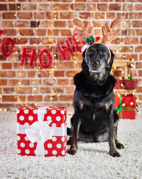 순록의 뿔과 크리스마스 선물 슬픈 강아지의 초상화 무료 사진