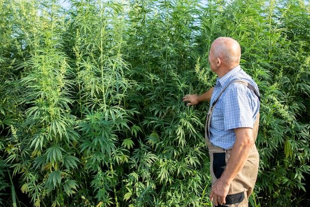 フィールドで大麻または大麻植物と大麻サティバ植物を見ている上級農学者の肖像画 無料写真