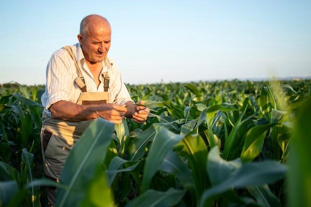 収穫前に作物をチェックするトウモロコシ畑の上級勤勉な農学者の肖像画 無料写真
