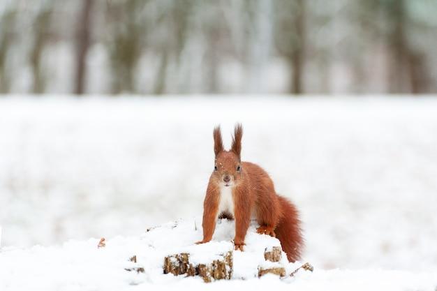 Портрет белки на белом снегу Premium Фотографии