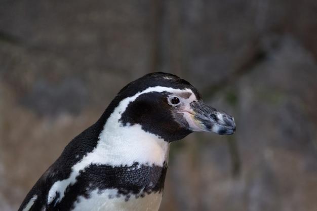 Portrait of a penguin Premium Photo