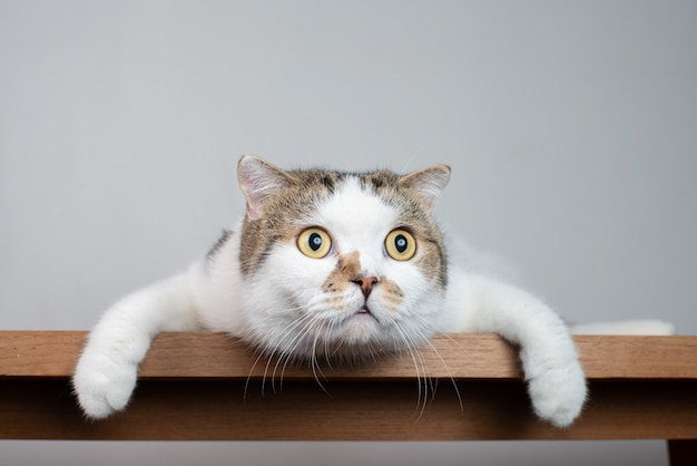 Portrait photo of scottish fold cat with shocking face and wide open eyes. Premium Photo