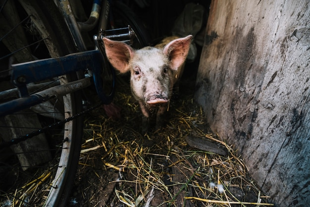 Portrait of a pig in the pigsty Free Photo