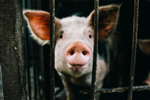 Portrait of pink piglet in the cage Free Photo