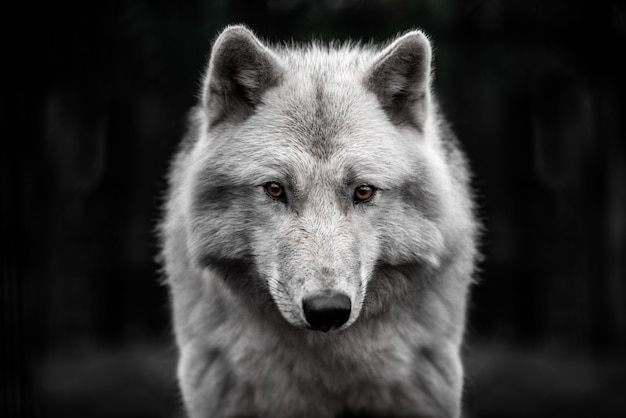 Portrait of polar wolf handsome young male. Premium Photo