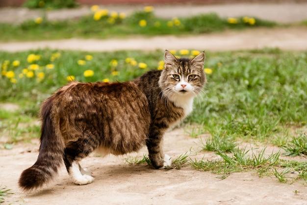 Portrait of pregnant cat walking on the lawn Premium Photo