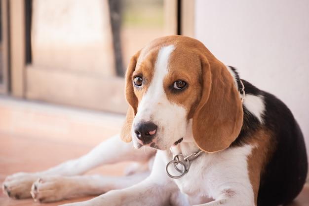 Portrait of puppy beagle dog, animal concept Premium Photo