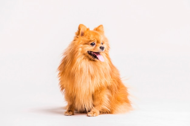 Portrait of spitz sticking out tongue over white backdrop Free Photo