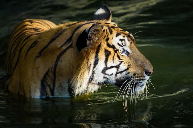 Portrait of tiger. Premium Photo