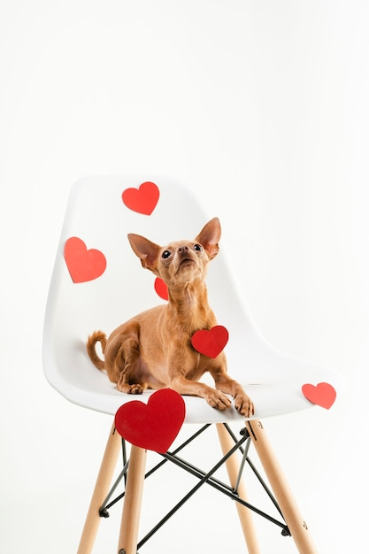 Portrait of tiny chihuahua dog sitting on a chair Free Photo