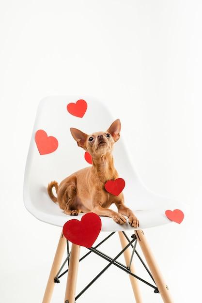 Ritratto del cane minuscolo della chihuahua che si siede su una sedia Foto Gratuite