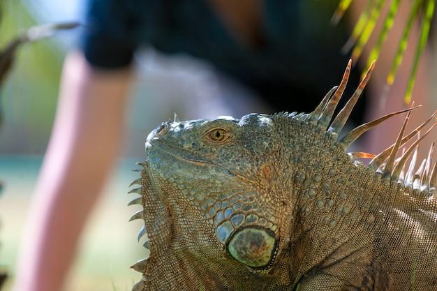 Ritratto di iguana tropicale Foto Gratuite