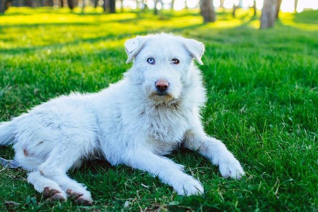 Portrait of a white fluffy stray dog with a chip on the ear and with heterochromia. dog resting and lying on green grass at park. animal heterochromia Premium Photo