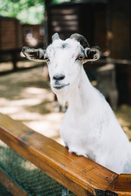 Portrait of white goat Free Photo