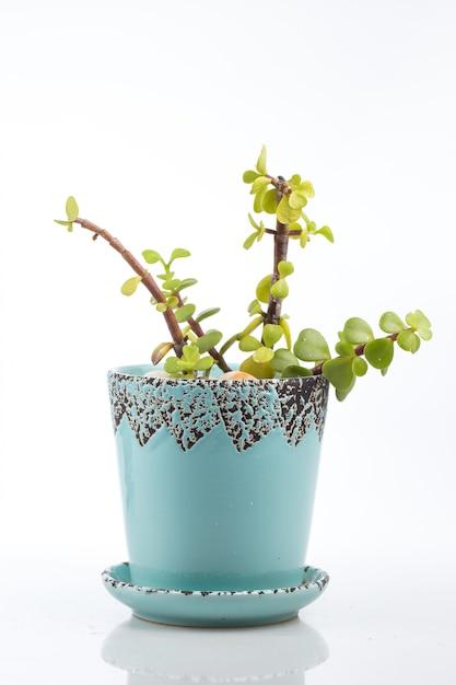 Portulacaria afra, porkbush in a small blue pot, isolated. Premium Photo