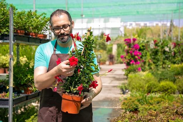 Fiorista maschio positivo che tiene vaso con pianta fiorita e cammina in serra. vista frontale. lavoro di giardinaggio o concetto di botanica Foto Gratuite