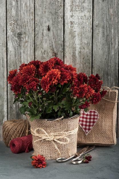 Pot of red chrysanthemum flowers Premium Photo