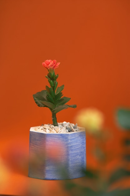 Pot with plant gerbera isolated on orange background. close up Premium Photo