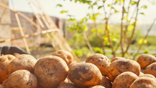 Potato crop. against the backdrop of a garden. Premium Photo