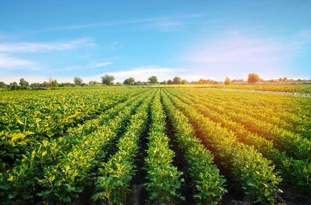 Potato plantations grow in the field. vegetable rows. farming, agriculture. landscape Premium Photo