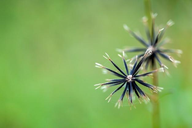 ポテト雑草の種子 Premium写真