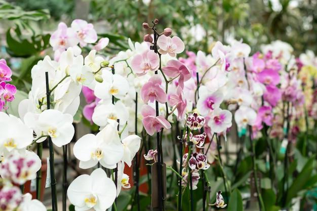 店のカウンターで鉢植えの咲く胡蝶蘭 Premium写真
