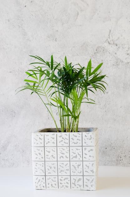 灰色のコンクリートの壁の近くの鉢植えの植物chamaedorea Premium写真