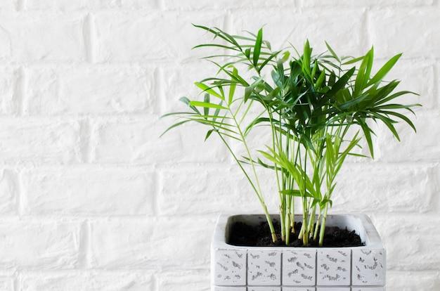白いレンガの壁の近くの鉢植えの植物chamaedorea Premium写真