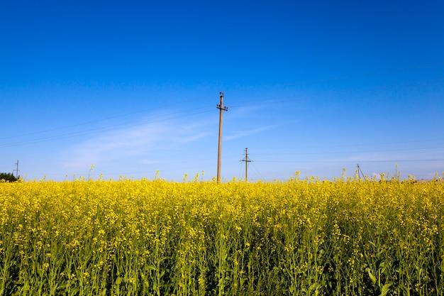 菜の花が咲く畑の電柱。青空。 Premium写真