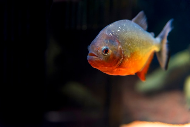 Predatory fish piranha in aquarium,osaka japan Premium Photo