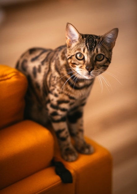 Pretty bengal cat stands on yellow couch Free Photo