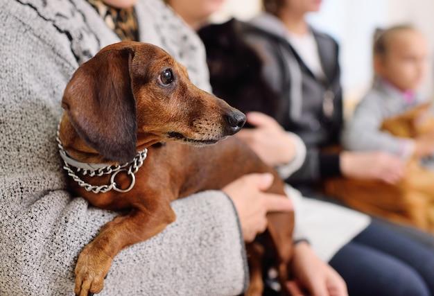 獣医クリニックでの診察のキューを待っている所有者の手でかわいいダックスフント犬 Premium写真