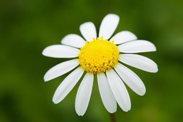 A pretty flower in the field in spring Premium Photo