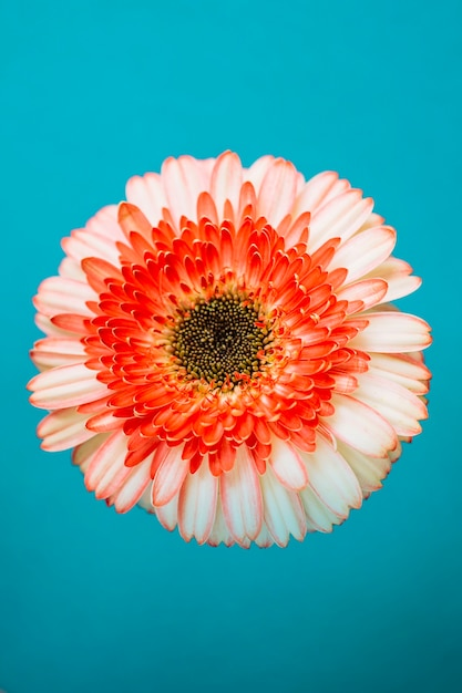 Pretty gerbera on turquoise background Free Photo