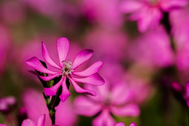 Prettypink pirouette、マルタの田園地帯にある小さなピンクの花 無料写真