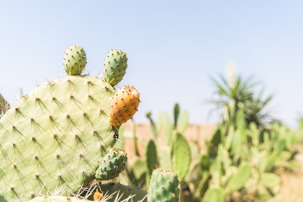 Prickly pear cactus with fruit at morocco dessert . Premium Photo