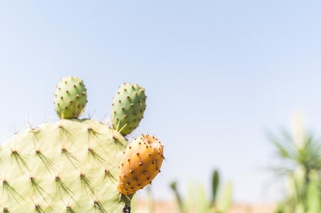 Prickly pear cactus with fruit at morocco dessert . Premium Photo