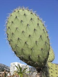 Prickly pear, green Free Photo